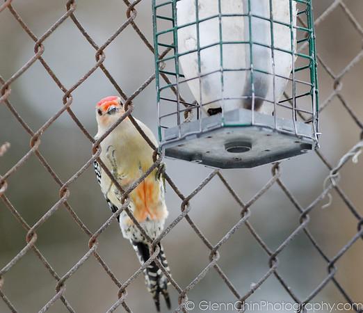 Red bellied woodpecker.  Hi.