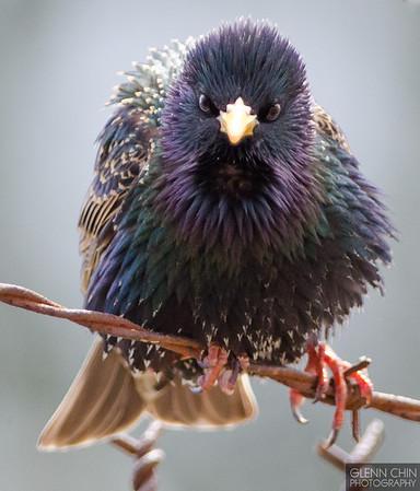Mean-mugging European Starling