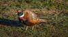 Pheasant January_03,_20131N5A1155untitled