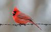 Male Northern Cardinal
