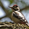 Great Spotted Woodpecker (juv)