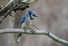 Blue Jay (Cyanocitta cristata) in a tree in Baldwinsville, New York on Saturday, May 2, 2020.