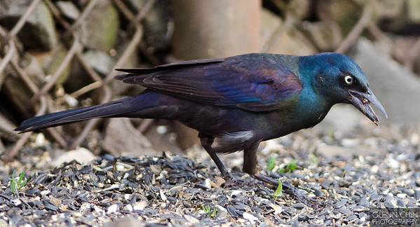 Grackle with a bug