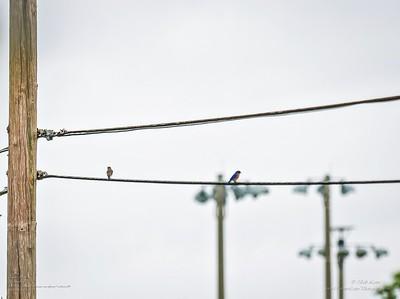 P1040041_ ebasseenapafarea1metermulti Eastern Bluebird