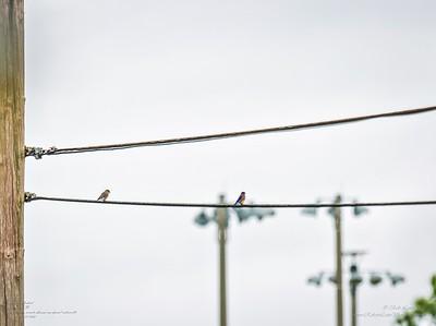P1040040_ ebasseenapafarea1metermulti Eastern Bluebird