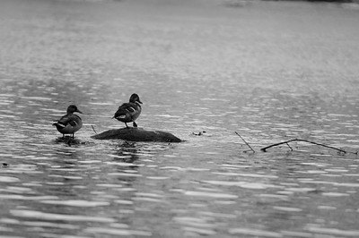 Ducks on the river.