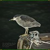 _C200003_treasure island parade,johns pass_Blk-crownedNight-Heron