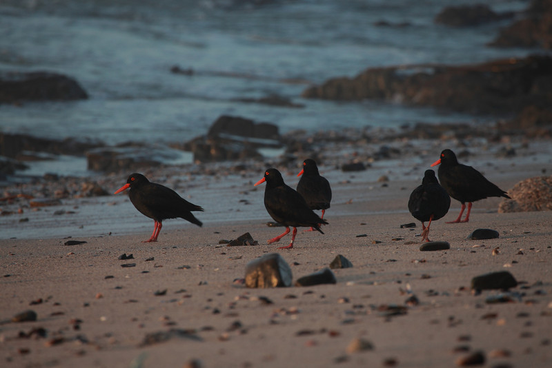 African black oystercatcher (Haematopis monquini), a large wader which breeds on the southern African coast, is on the endangered list, with a population of only about 5000