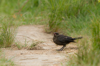 Brewer's Blackbird, 2013