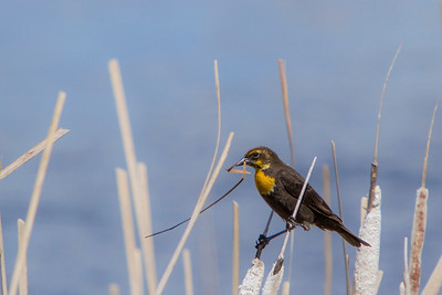Yellow-headed Blackbird, 2014