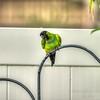 nandayParakeet, Black-hooded Parakeet (Nandayus nenday),Clwtr,Fl-- 2018-08-20-8300004