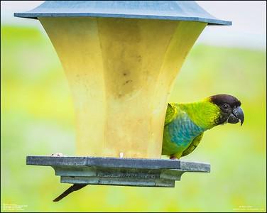 P6040061_Nanday Parakeet