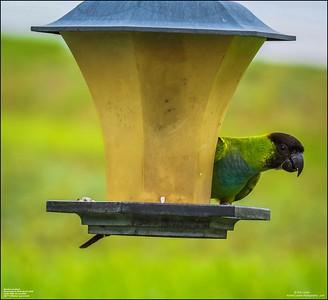 P6040060_Nanday Parakeet