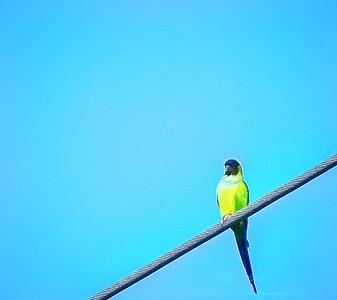 2018-11-19_P1360084_300 ap Nanday Parakeet_2 - A Kittenkiss,mildcont
