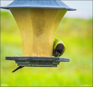 P6040063_Nanday Parakeet