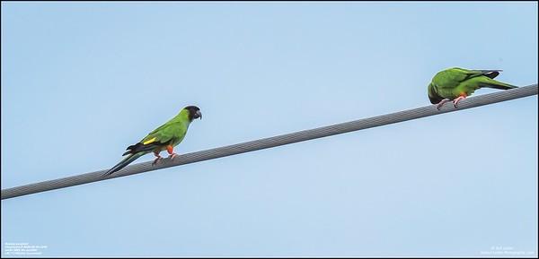 P6040067_Nanday Parakeet
