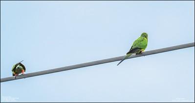 P6040070_Nanday Parakeet