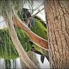 Nanday Parakeet_P4240026_Gulfport,Fl
