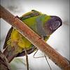 Nanday Parakeet_P4240035_Gulfport,Fl