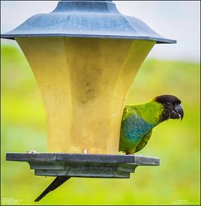P6040054_Nanday Parakeet