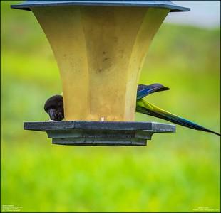 P6040047_Nanday Parakeet