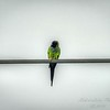 nandayParakeet, Black-hooded Parakeet (Nandayus nenday),Clwtr,Fl-- 2018-08-20-8300006
