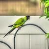 nandayParakeet, Black-hooded Parakeet (Nandayus nenday),Clwtr,Fl-- 2018-08-20-8300002