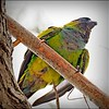 Nanday Parakeet_P4240034_Gulfport,Fl