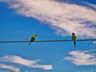 001_nanday parakeet_20210421