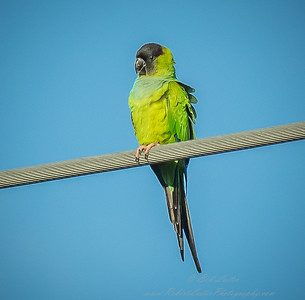 2018-12-08_300,iso400,hheld  Nanday Parakeet, Black-hooded Parakeet (Nandayus nenday)_18