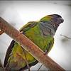 Nanday Parakeet_P4240037_Gulfport,Fl