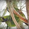 Nanday Parakeet_P4240028_Gulfport,Fl