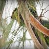 Nanday Parakeet_P4240025_Gulfport,Fl