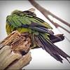 Nanday Parakeet_P4240015_Gulfport,Fl