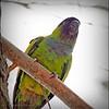 Nanday Parakeet_P4240033_Gulfport,Fl