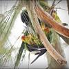 Nanday Parakeet_P4240029_Gulfport,Fl