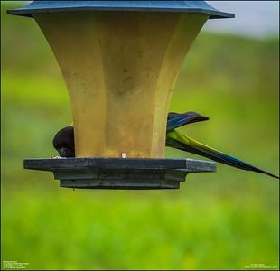 P6040044_Nanday Parakeet
