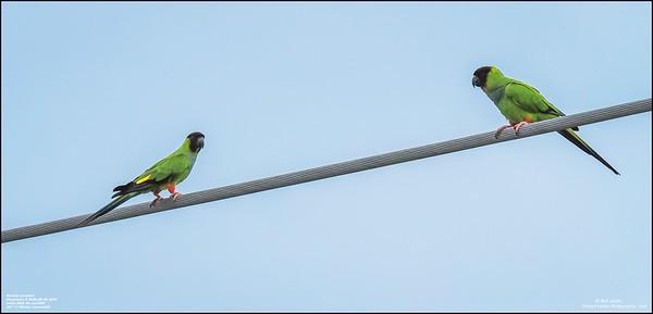 P6040068_Nanday Parakeet
