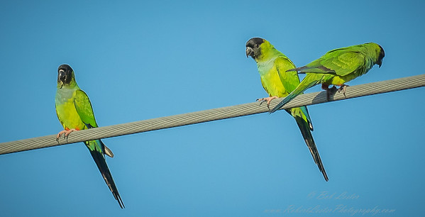 2018-12-08_300,iso400,hheld  Nanday Parakeet, Black-hooded Parakeet (Nandayus nenday)_9