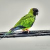 nandayParakeet, Black-hooded Parakeet (Nandayus nenday),Clwtr,Fl-- 2018-08-20-8300010
