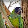 Nanday Parakeet_P4240030_Gulfport,Fl