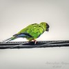nandayParakeet, Black-hooded Parakeet (Nandayus nenday),Clwtr,Fl-- 2018-08-20-8300011