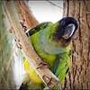 Nanday Parakeet_P4240032_Gulfport,Fl