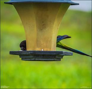 P6040046_Nanday Parakeet