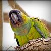 Nanday Parakeet_P4240021_Gulfport,Fl