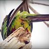 Nanday Parakeet_P4240016_Gulfport,Fl