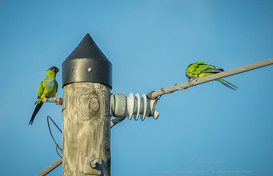 2018-12-08_300,iso400,hheld  Nanday Parakeet, Black-hooded Parakeet (Nandayus nenday)_24