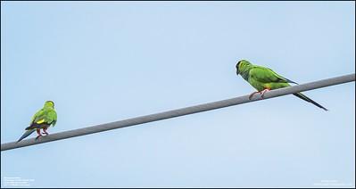 P6040069_Nanday Parakeet