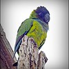 Nanday Parakeet_P4240017_Gulfport,Fl