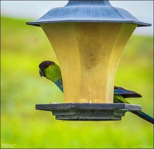 P6040049_Nanday Parakeet
